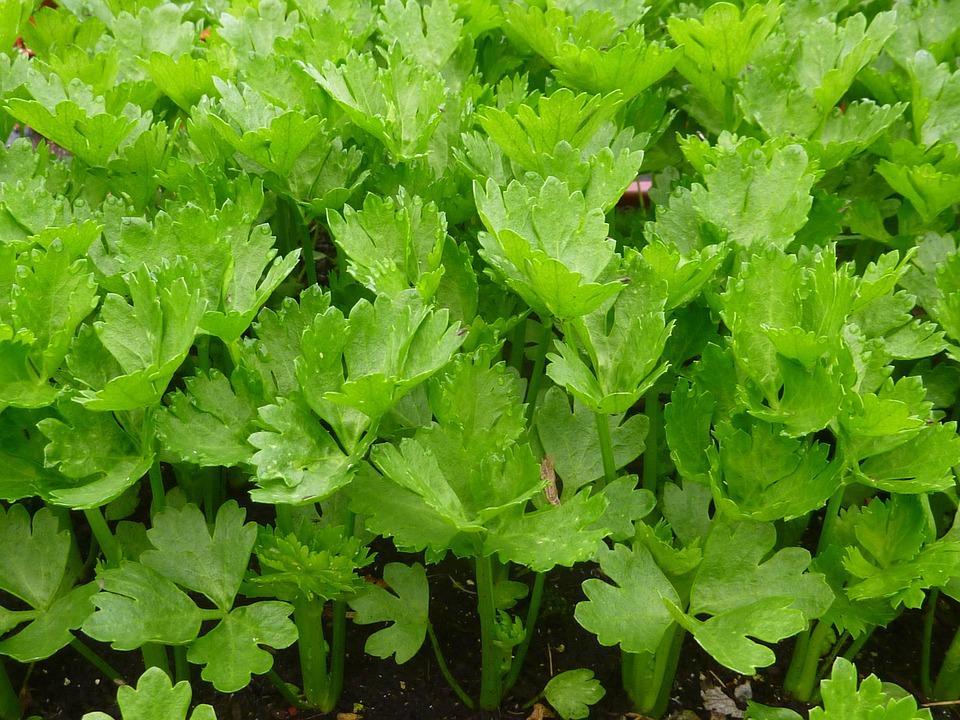 Jak a proč pěstovat celer?