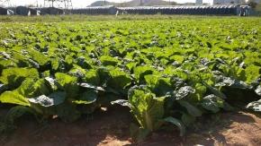 Návod: jak si vypěstovat pekingské zelí