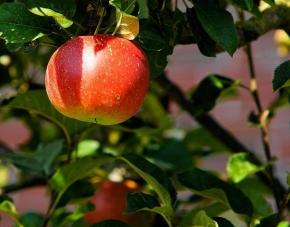 Nezapomeňte prořezat jádroviny – jablkům a hruškám stíní hlavně vlky